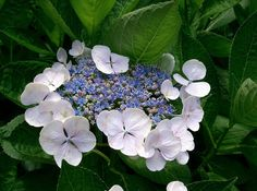 Japan is a country of four seasons and rich in nature. Here are 20 endemic species of flowers seen in Japan. The Secret Book, Four Seasons, Hydrangea, Succulents, Japan, Garden, Nature, Flowers, Plants