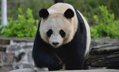 """Missä menee pandojen näkemisen kipuraja? Ähtärin lippujen hinnat tuplat Berliinin eläinpuistoon verrattuna: """"Noudatetaan työaika- ja lainsäädäntöä"""""""