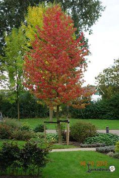 liquidambar - too wide Autumn Garden, Green Garden, Garden Deco, Deciduous Trees, Small Trees, Plantation, Plant Design, Small Gardens, Garden Projects