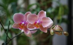 Images for Desktop: orchid pic (Winchell Fairy 1920 x 1200)
