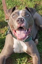 Blaze is an adoptable Pit Bull Terrier Dog in Woodbridge, NJ.  Goofball Alert..... Blaze, an 8 month old pittie mix, is the 2nd of the dogs we snatched from the Edison Animal Shelter today. This dog i...