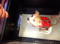 Nala is one of the many tripawds we help at HVC. #caninerehab