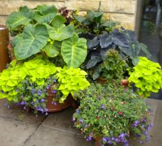 great grouping...love the different shades of elephant ears. more sweet potato vine!