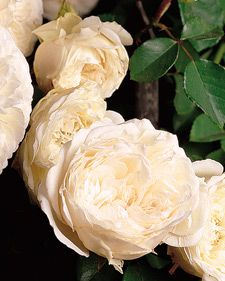 French Sombreuil climbing rose ........ where to put it ............mmm