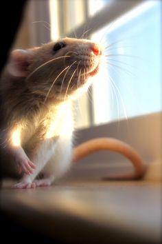 Rat enjoying some sunshine>>>>>>>Oh my gosh so darling