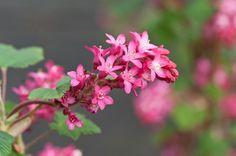 Ribes sanguineum 'Red Bross'