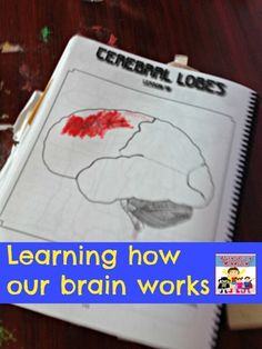 about the brain activities how our brain works, a fun hands on lesson for kids to learn about their brainhow our brain works, a fun hands on lesson for kids to learn about their brain Science Lessons, Lessons For Kids, Teaching Science, Science Projects, Teaching Kids, Science Education, Brain Based Learning, Whole Brain Teaching, The Brain For Kids