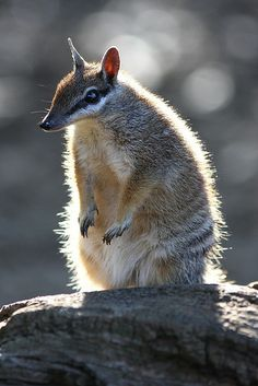 Numbat (by Mark Coates) on Flickr