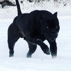 Prague, the Pitbull, is very often compared to a Black Panther because of his rare jet-black coat. Pitbull Noir, Pitbull Terrier, Big Dogs, Cute Dogs, Dogs And Puppies, Giant Dogs, All Black Pitbull, Black Pitbull Puppies, Cute Baby Animals