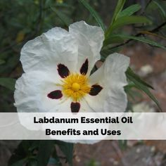 Labdanum Essential Oil Benefits and Uses include helping clear sinus issues, relaxing your mind and body, it's a rare fragrance, and an absolute oil.