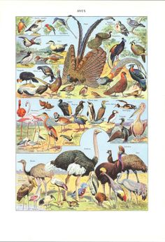 Birds Vintage Print  55 Years Old Lithograph by CarambasVintage, $16.00