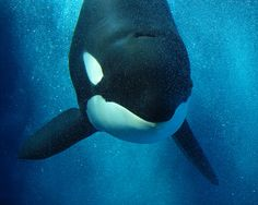 Kasatka (SeaWorld California)  From the One Ocean opening video