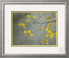 Yellow Autumnal Birch (Betula) Tree Limbs Against Gray Stucco Wall Framed Photographic Print by Daniel Root at Art.com