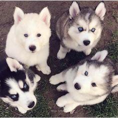 See more Beautiful Siberian Husky Dog photos,. - Where Is My Husky - Husky Beautiful, Funny Momment Photos Animals And Pets, Baby Animals, Funny Animals, Cute Animals, Cute Puppies, Cute Dogs, Dogs And Puppies, Doggies, Beautiful Dogs