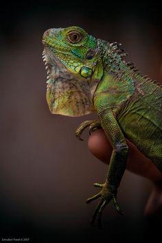 I miss my Iguana Bowzer!