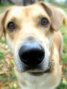 Yellow Lab 5 x 7 Print Dog Being Nosy Animal Lovers  Digital Image