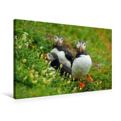 #Papageitaucher #Puffins #Vögel #Leinwand #BabettsBildergalerie #Ireland #Irland #bird #animal #birds Pinterest Instagram, Animals, Little Birds, Animal Themes, Canvas Frame, Graphics, Animales, Ireland, Animaux