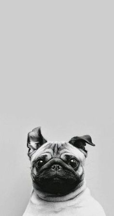 Si sos amante de este bonito perro pug estos fondos de pantalla pug son para ti. Descarga los fondos a tu celular 6 fondos de ...