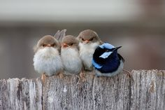Little family, Superb Fairy Wren Chicks huddled together with their exhausted father.