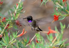 black chinned hummingbird pictures | male Black-chinned looks like its head and throat are completely black ...