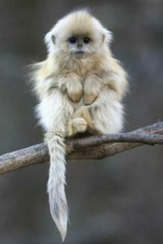 Baby golden snub-nosed monkey.-something to bright the day :) too cute!