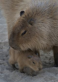 Two capybaras were born recently in Grace & Harry Steele's Elephant Odyssey exhibit at the Zoo. Capybaras are the largest rodents in the world.