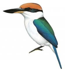 Pohnpei Kingfisher (Todiramphus reichenbachii) (Formerly included in Todiramphus cinnamominus)