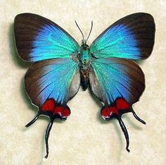 Thecla Coronata Blue Female Exotic Real Butterfly