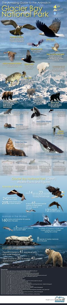 This graphic highlights a few of the many Glacier Bay National Park animals. We created it to help you identify some of the animals of Glacier Bay AK. Alaska Travel, Travel Usa, Alaska Trip, Alaska Camping, Glacier Bay National Park, National Parks, Places To Travel, Places To See, Travel Destinations