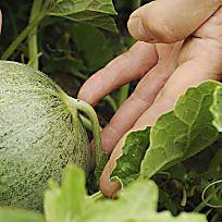 die besten 25 melonen anbauen ideen auf pinterest melonen pflanzen wo wachsen melonen und. Black Bedroom Furniture Sets. Home Design Ideas