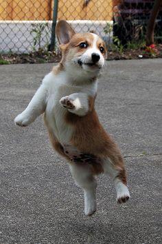 Baby Corgi Jumping