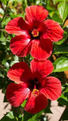red hibiscus / red wedding hawaii