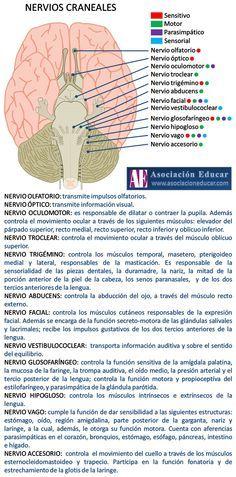 Infografía Neurociencias: Nervios craneales. | Asociación Educar
