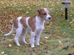 Kromfohrländer puppy <3