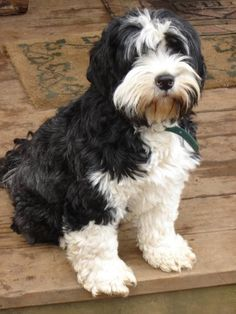 Check out this cutie pie! Tibetan Terriers are terrific companions!