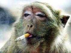 el mono que fuma y muy divertida