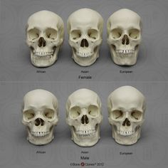 Human Male and Female Skulls: African, Asian, and European - Bone Clones, Inc. - Osteological Reproductions