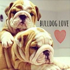 English Bulldog <3 ...  The dog I definitely want some day.