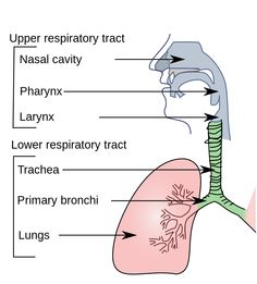 Respiratory system not labeled black and white respiratory system upper respiratory system ccuart Image collections