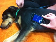 The AliveCor actually turns your iphone into a portable ECG machine. It consists of a case that snaps on over an iphone, turning it into a single lead ECG that is placed on the side of the animal, or, in the case of those animals who don't want to deal with that, you can hold one paw on each contact. And that, my friends, is awesome.
