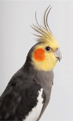 delicate parrot