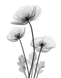 Image result for poppy xray