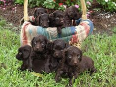 Boykin And Adult Boykin Spaniels For Sale Dogs