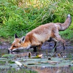 Thirsty Red Fox - Photographer unknown