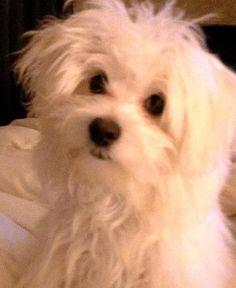 Maltese... looks like Oliver.  Minus an eye!