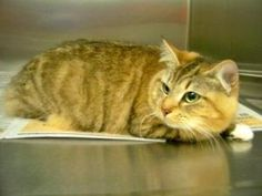 Brittany IN FOSTER CARE: Domestic Short Hair, Cat; Amherst, VA
