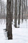Traditional Sap collection for Maple syrup production. Visit many small independent producers for maplefests across NY state.