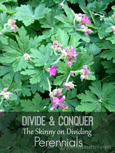 Dividing perennials is an easy and worthwhile task. Learn when and how and why you should divide perennials in your garden.