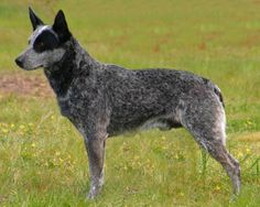 Australian Stumpy Tail Cattle Dog. Loyal to its family but suspicious of strangers, this lively, obedient dog needs long daily walks. This breed is descended from the Dingo - I think it looks a lot like the Australian Cattle Dog, but I do not know if they are related.
