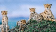 At four to five months the cheetah mother brings the cheetah cubs live prey to practice their hunting skills on. At between six or seven months they begin to make their own kills.